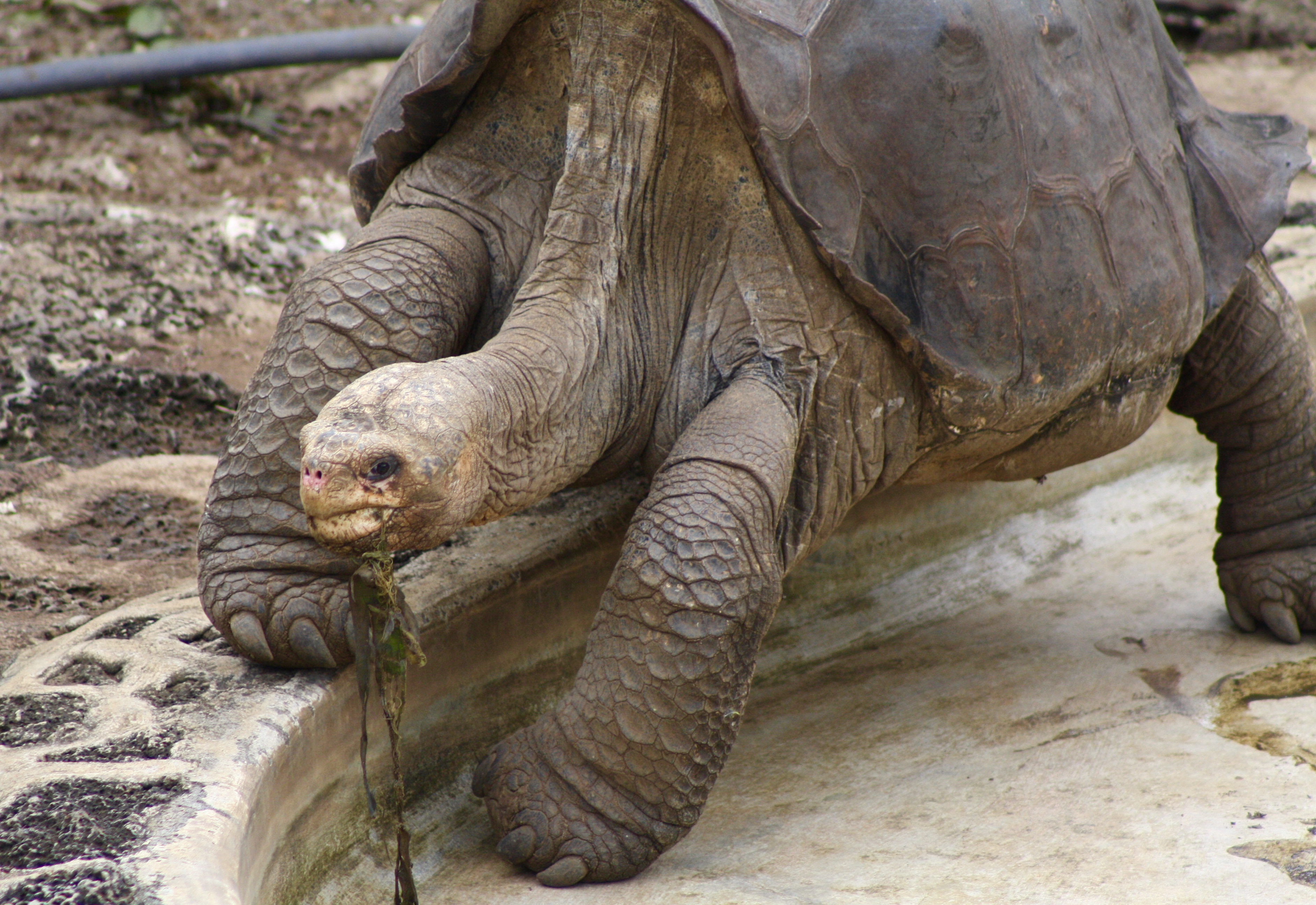 Pictures of pinta island tortoise Cached